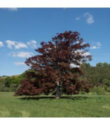 Buk lesní Atropurpurea - rostlina Sylvatica Atropurpurea - prodej semen buku - 7 ks