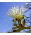 Pseudobombax millei - exotické stromy - semena - 6 ks
