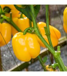 Paprika žlutá Baby bell - minipaprika - Capsicum annuum - osivo paprik - 10 ks