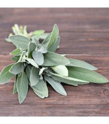 Šalvěj lékařská - Salvia officinalis - osivo šalvěje - 20 ks