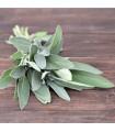 Šalvěj- Salvia officinalis- semena šalvěje- 40 ks