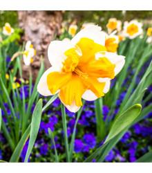 Narcis Orangery - Narcissus - cibule narcisů - 3 ks