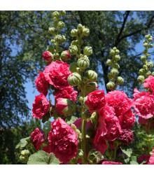 Topolovka Chaters Scarlet - Alcea rosea - semena - osivo topolovky - 8 ks