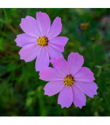 Krásenka Sonata Pink - Cosmos bipinnatus - osivo krásenky - 15 ks