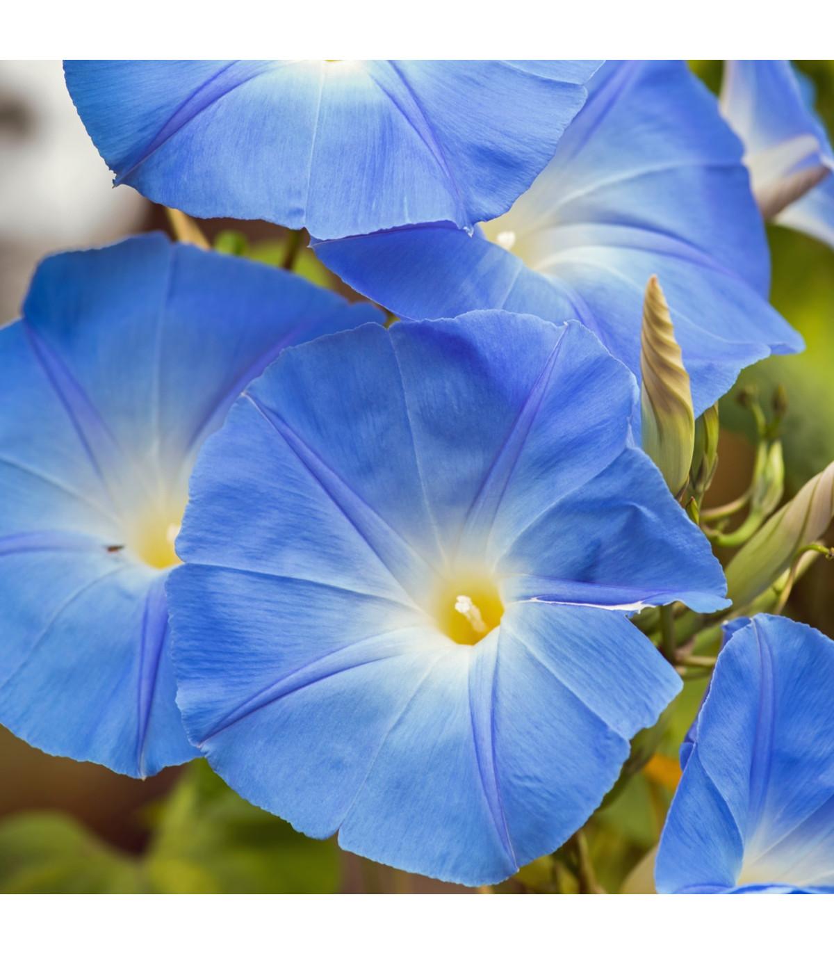 Povíjnice modrá - Ipomoea rubro-coerulea - osivo povíjnice - 25 ks
