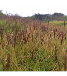 Ozdobný rákos Gahnia filum - prodej semen ozdobného rákosu - 10 ks