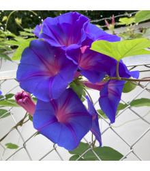 Povíjnice Scarlet O´Hara - Ipomoea purpurea - osivo povíjnice - 25 ks