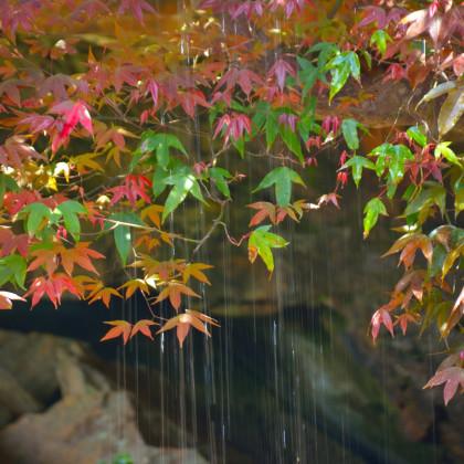 Javor Oblongum - bonsai Acer oblongum - prodej semen - 5 ks