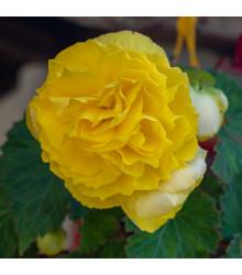 Begonie plnokvětá žlutá - Begonia superba - cibulky begónie - 2 ks