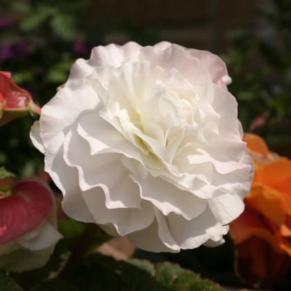 Begonie plnokvětá bílá - Begonia superba - cibulky begónie - 2 ks