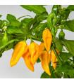 Chilli Devils Tongue Yellow - Capsicum annuum - osivo chilli - 7 ks