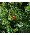 Tis japonský- Taxus Cuspidata- semena- 5 ks
