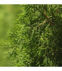 Jalovec čínský - Juniperus chinensis - semena Jalovce - 5 ks