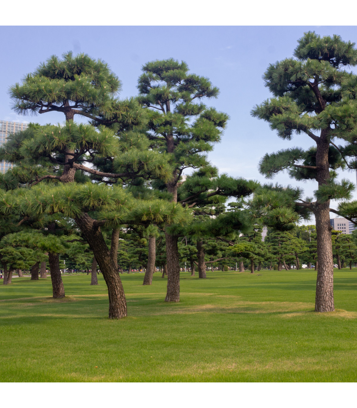 Borovice japonská černá - Pinus thunbergii - semena borovice - 5 ks