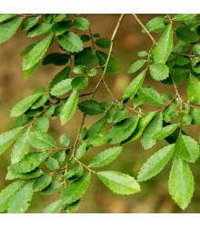More about Jilm čínský - Ulmus parvifolia - prodej semen bonsají - 10 ks