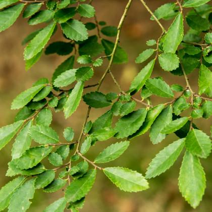 Jilm čínský - Ulmus parvifolia - prodej semen bonsají - 10 ks