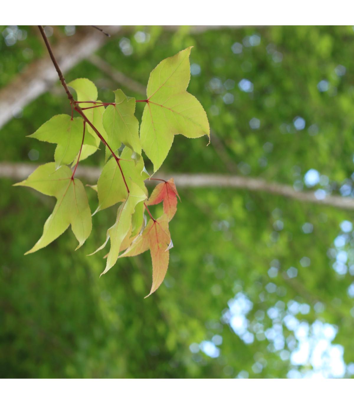Javor Bürgerův - bonsai Acer buergeranum - prodej semen - 5 ks