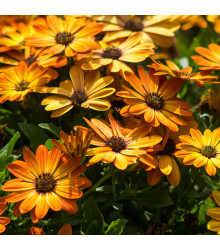 More about Paprskovka Sunset Shades - Osteospermum - osivo paprskovky - 6 ks
