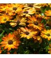 Paprskovka Sunset Shades - Osteospermum - osivo paprskovky - 6 ks
