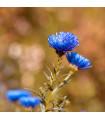 Letničky směs Zahradní sen v modrém - prodej letniček - 0,9 gr