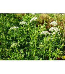 Jarva monnieri - Cnidium monnieri - She Chuang - semena cnidia - přírodní afrodiziakum - 20 ks