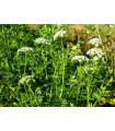 Cnidium monnieri - She Chuang - semena cnidia - přírodní afrodiziakum - 20 ks