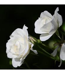Růže velkokvětá  pnoucí bílá - Rosa - prostokořenné sazenice růží - 1 ks