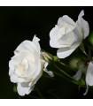 Růže velkokvětá pnoucí bílá - Rosa - sazenice růží - 1 ks