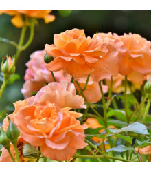 Růže velkokvětá oranžová - Rosa - sazenice růží - 1 ks