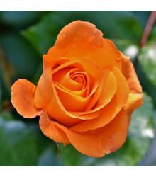 Růže velkokvětá pnoucí oranžová - Rosa - sazenice růží - 1 ks
