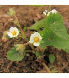 Jahodník Pineberry - Fragaria ananassa - prostokořenné sazenice jahodníků - 2 ks