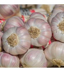 Sadbový česnek Sultop - Allium sativum - paličák - 3 ks v balení