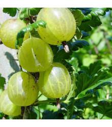 Angrešt bílý - Ribes uva-crispa - prostokořenné sazenice angreštů - 1 ks