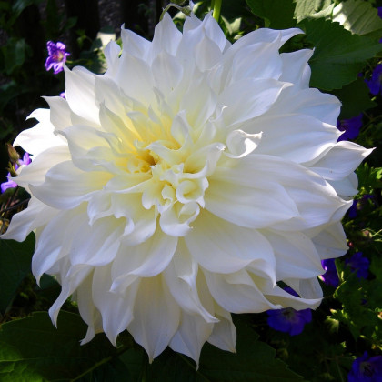 Jiřinka White Perfection - Dahlia - cibulky jiřinek - 1 ks