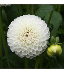 Jiřinka White Aster - Dahlia - cibulky jiřinek - 1 ks