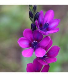 Babiana Kew Hybrids - Babiana stricta - prostokořenné sazenice babian - 3 ks