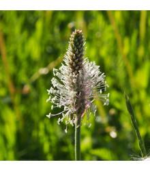 BIO jitrocel Minutina - Plantago coronopus - bio osivo jitrocele - 0,2 g