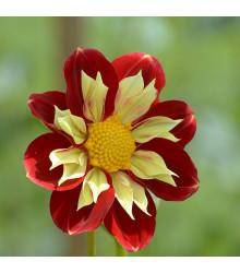 Jiřinka proměnlivá Harlequin směs barev - Dahlia variabilis - osivo jiřinek - 14 ks
