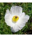BIO pleskanka - Argemone platyceras - bio osivo poleskanky -