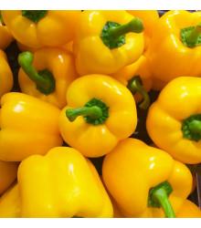 Paprika žlutá Gelber Block - Capsicum annuum - osivo papriky - 7 ks