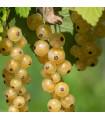 Rybíz bílý - Ribes sylvestre - sazenice rybízu - 1 ks