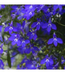 More about Lobelka nízká Riviera Marine Blue - Lobelia erinus - osivo lobelky - 0,1 g