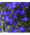 Lobelka nízká Riviera Marine Blue - Lobelia erinus - osivo lobelky - 0,1 g