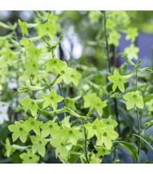 Tabák okrasný Perfume Lime F1 - Nicotiana sanderae - osivo tabáku - 50 ks