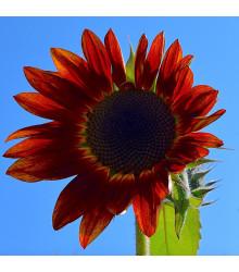 Slunečnice Moulin Rouge - Helianthus annuus - osivo slunečnice - 8 ks