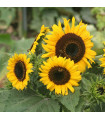 Slunečnice Mezzulah - Helianthus annuus - osivo slunečnice - 8 ks