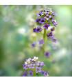 Tařicovka přímořská Könnigsteppich - Lobularia maritima - osivo tařicovky - 50 ks