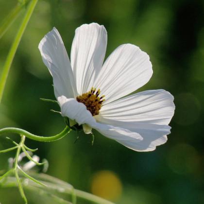Krásenka Sonata bílá- Cosmos bipinnatus - prodej semen krásenky - 15 ks