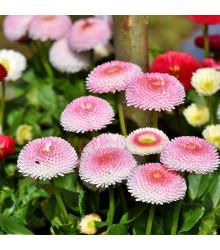 Sedmikráska chudobka Tasso růžová s červeným středem - Bellis perennis - osivo sedmikrásky - 50 ks