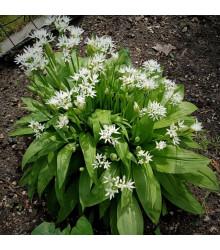 Česnek medvědí - Allium ursinum - semena česneku - 7 ks